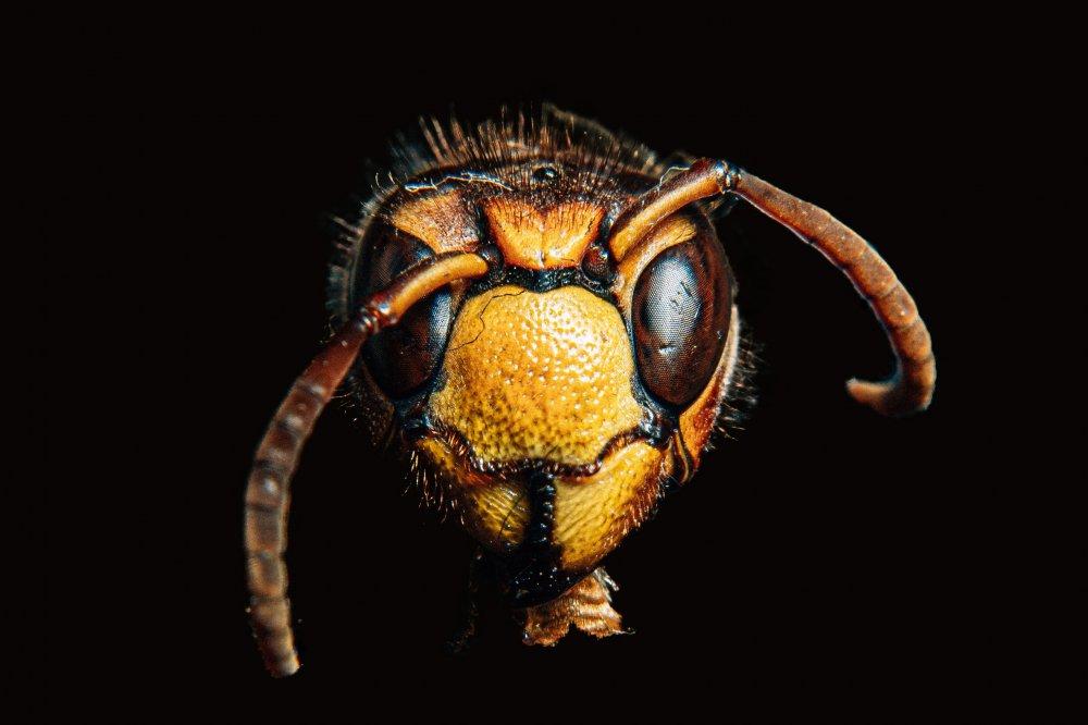 Få hjælp til fjernelse af hvepse og andre skadedyr