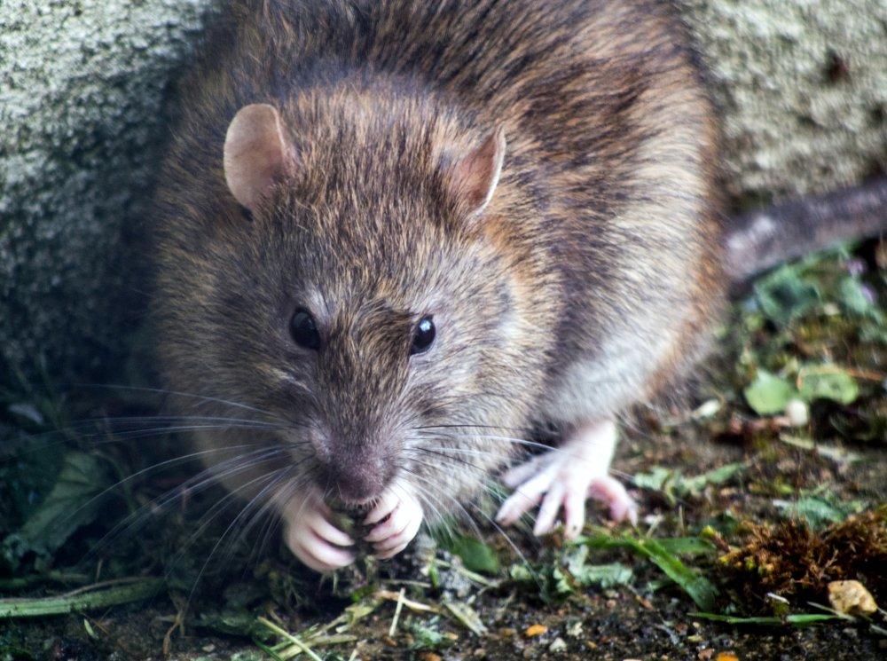 Rottebekæmpelse: Rotter og vores sundhed hænger sammen